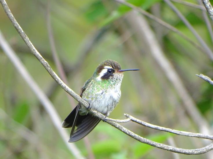 White-eared Humingbird